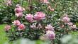 Obrazy na płótnie, fototapety, zdjęcia, fotoobrazy drukowane : blossoming roses plant in spring  garden