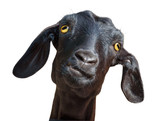 Black goat isolated with clipping path - 96266858
