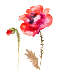 Watercolor flower poppy