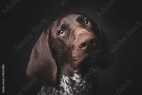 Poszter German shepherd dog studio portrait over black background