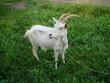 Постер, плакат: Белая рогатая коза на фоне травы