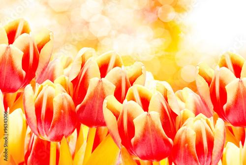 Fototapeta Tulip flowers close up