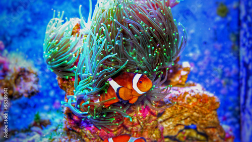 clownfish-w-akwarium-morskim