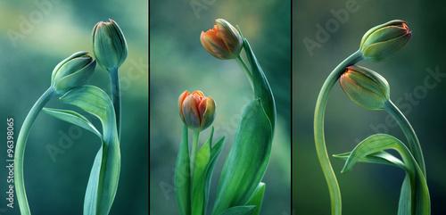 Obraz Zielone tulipany - tryptyk