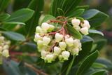 Arbutus flowers - Fiori di Corbezzolo - Blumen Erdbeerbaum - Fleurs d
