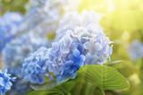 Fototapety Hydrangea flowers background