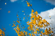 Yellow Aspen Leaves flying off the tree