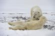 The adult male  polar bears (Ursus maritimus)