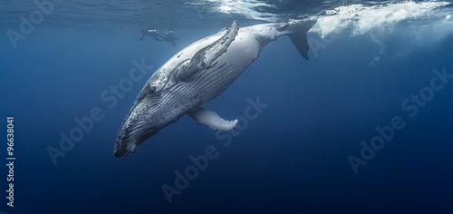 Gorgeous humpback whale, Réunion island - France.