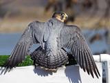 Barbary Falcon Rear View Wings Spread
