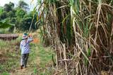 plant sugarcane