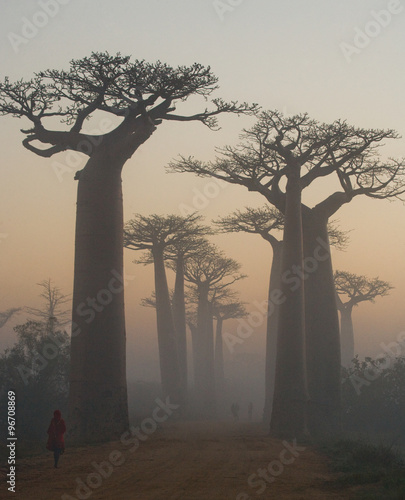 Foto op Canvas Baobab Avenue of baobabs at dawn in the mist. General view. Madagascar. An excellent illustration.