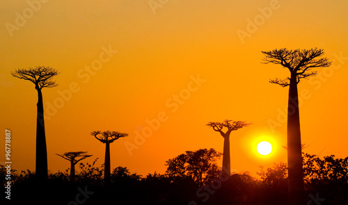 Papiers peints Baobab Avenue of baobabs at sunset. General view. Madagascar. An excellent illustration.