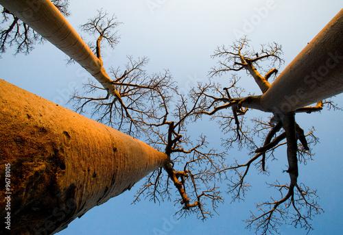Fotobehang Baobab Baobab on background blue sky. Madagascar. An excellent illustration.