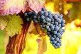 Toskana Weinreben