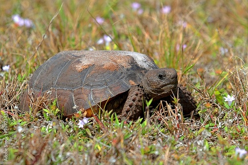 Poster Gopher Tortoise (Gopherus polyphemus)