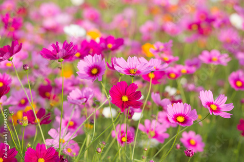 Pink cosmos flower fields - 96938225