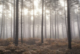 Pine forest Autumn Fall landscape foggy morning