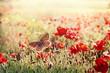 Butterfly in meadow of poppy flowers