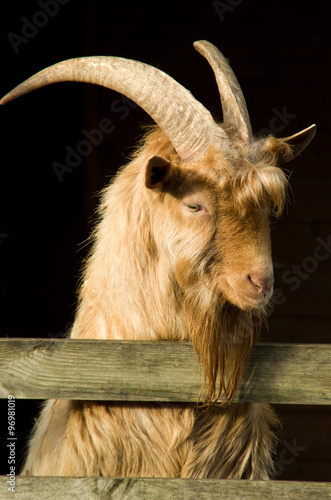 Poster billy goat