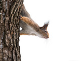 curious squirrel in winter on tree