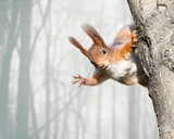 Fototapety curious red squirrel siting on tree