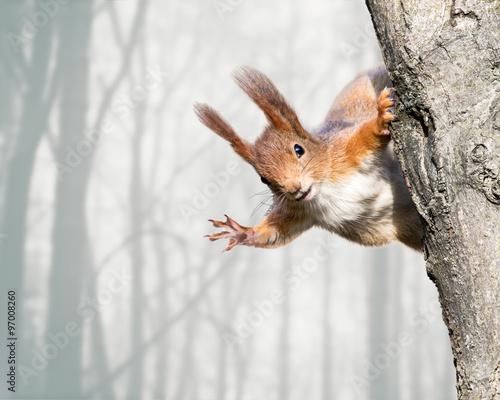 Zdjęcia na płótnie, fototapety na wymiar, obrazy na ścianę : curious red squirrel siting on tree