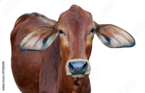 Poster Image of red cow isolated on white background.