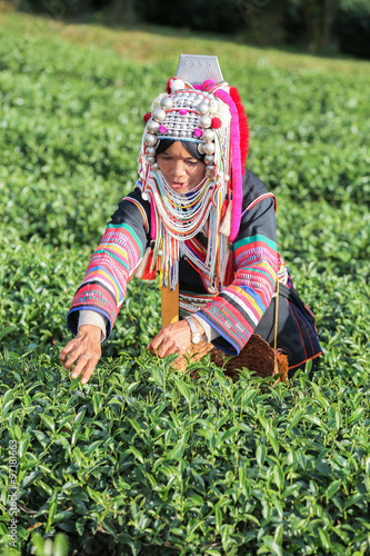 obraz lub plakat Akha hill tribe woman picking tea leaf at plantation.