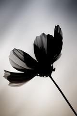 Schwarze Blume / Eine im Farbton veränderte Cosmea vor einem verwischten Hintergrund.