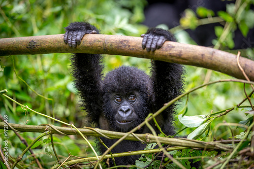 Poster Gorila trek inside Virunga National Park in Democratic Republic of Congo