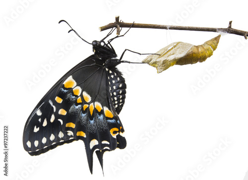 The Butterfly   Eastern Black Swallowtail (Papilio polyxenes) em