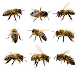 Set of bee - Fine Art prints