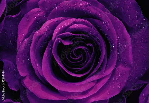 Fototapeta Closeup of a Purple Rose