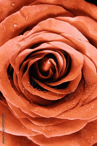 Fototapeta Closeup of a Yellow-Red Rose
