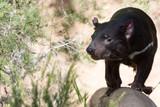 tasmania devil close up portrait