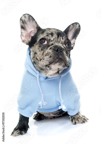 dressed puppy french bulldog