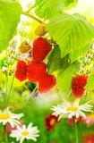 Garden raspberries.Beautiful nature background