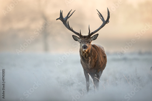 Plakat Red deer in winter