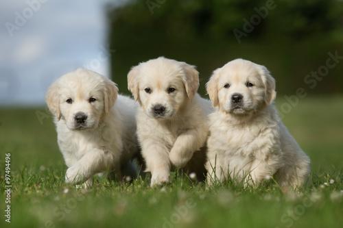 Poster Three golden retriever puppies walking on grass lawn