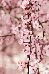 Cherry Blossoms © cmbankus