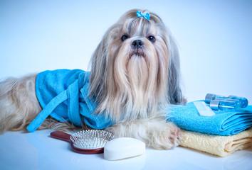 Shih tzu pies po umyciu