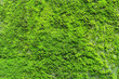 Natural green moss texture on the wall for beautiful background and copy space