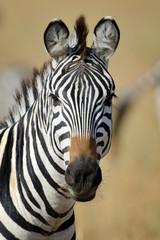 Zebra © byrdyak