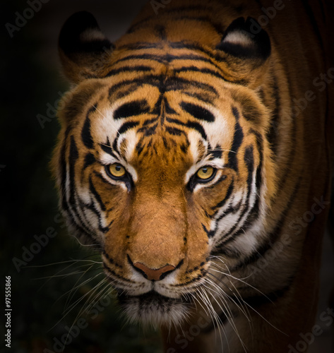 Foto op Aluminium Panter Sumatran Tiger close-up.