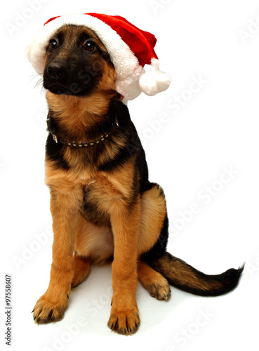 Poster German Shepherd dog with a cap of Santa Claus