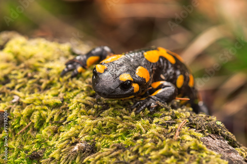 fototapeta na ścianę a black yellow fire salamander