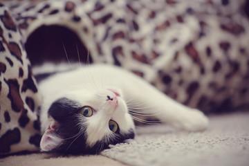 Portret biały czarny kot