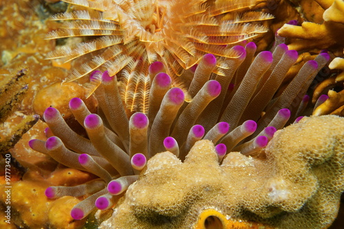 Giant anemone underwater between coral and worm