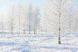 Birch forest in the snow and frost on Christmas